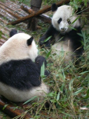 Китай. Сычуань. Ченгду, заповедник панд