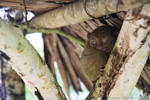 Филиппины, остров Бохол, Тарсиеры-долгопятики