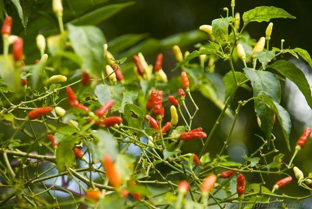 Красный перец, Филиппины