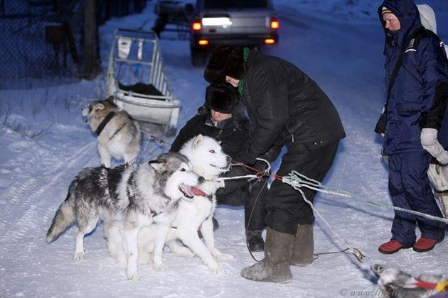 """Ездовые собаки заповедника """"Таймырский"""""""