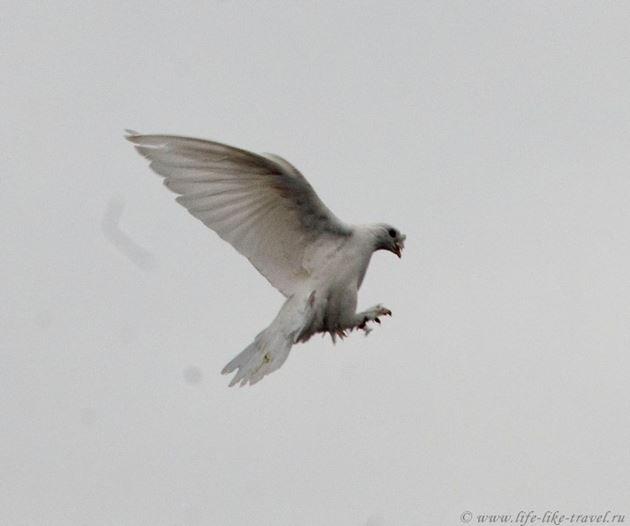 Малиновая голубка – мечта королей