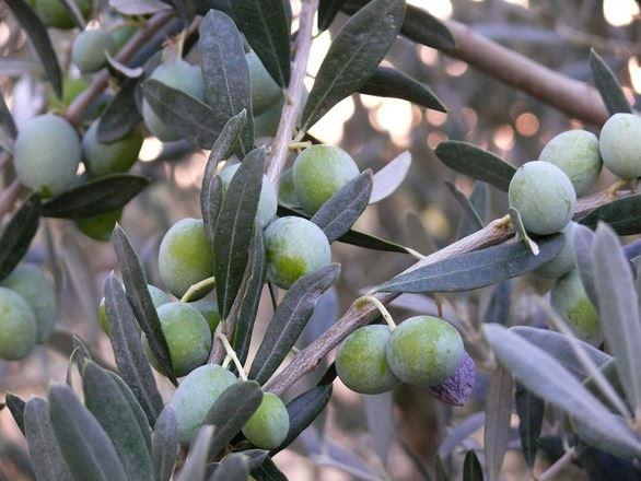 Оливковое дерево, Албания