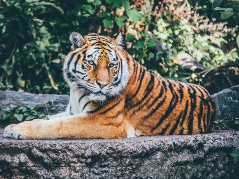тигр Таиланд