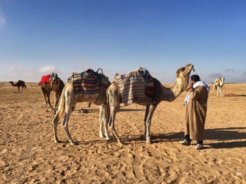 Верблюды, Тунис