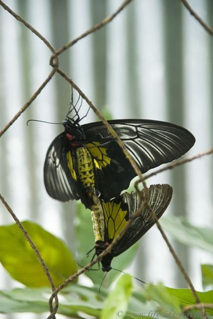 Филиппины, остров Палаван, Эль Нидо, бабочки