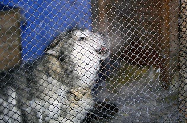 Мой друг Куцый: ездовые собаки на Крайнем Севере, аляскинские маламуты и гренландские собаки