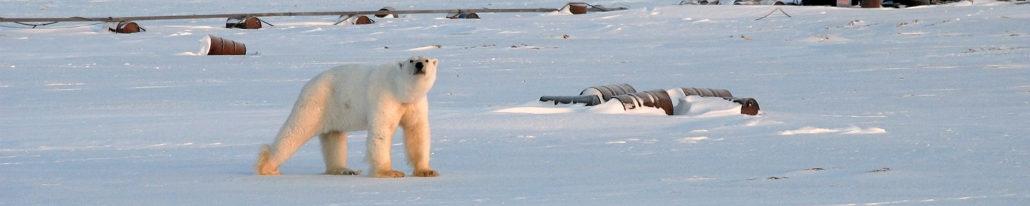 Таймыр, Арктика, белый медведь