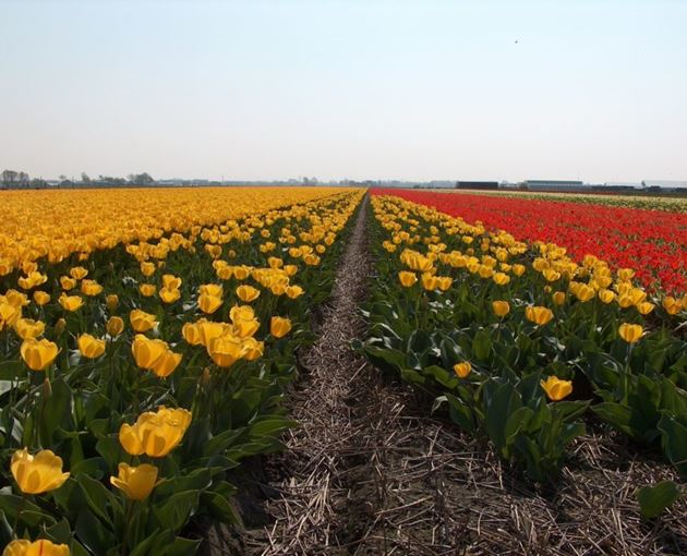 Тюльпанный поля, Нордвейк