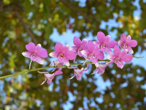 Таиланд орхидеи