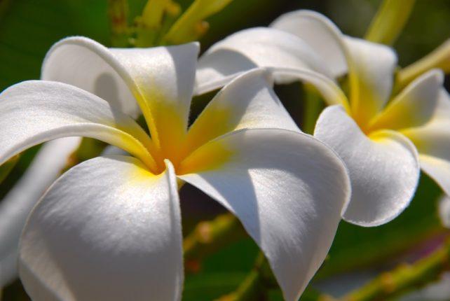 Мальдивы цветы