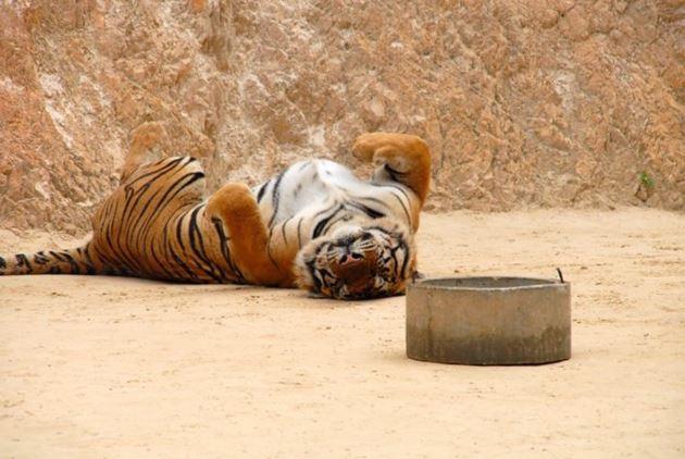 Таиланд Канчанабури Тигровый храм